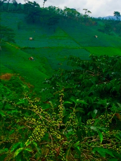 A thousand shades of green in the Ijen Plateau.