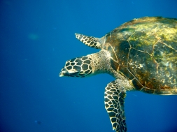 Green sea turtle, Bandas, paradise, Banda Islands, Pulau Hatta, snorkeling, diving, Indonesia, Terry Donohue
