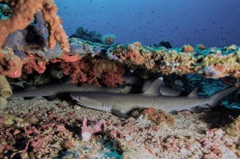 Markus Roth, whitetip shark, shark, Diving, Dive, Manado, Bunaken, Bangka Island, Lembeh, Sulawesi, Indonesia