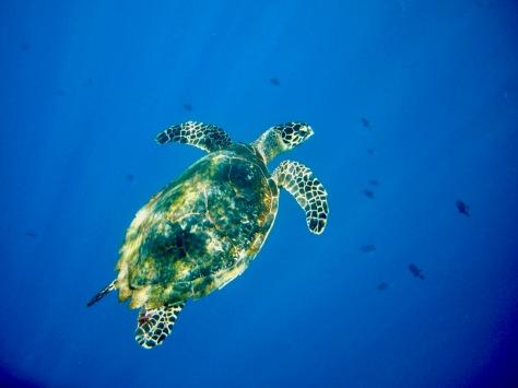 Terry Donohue, green sea turtle, turtle, wall diving, Diving, Dive, Manado, Bunaken, Banggka Island, Sulawesi, Indonesia