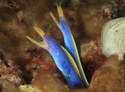Ribbon eels, Johan Amerijckx, dive, diving, Manado, Bunaken, Lembeh, Bangka, Sulawesi, Indonesia