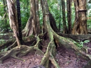 Buttress root trees