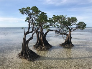 Pygmy Mangrove Trees